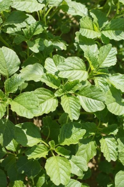 GW008 Amaranth Round Leaf3