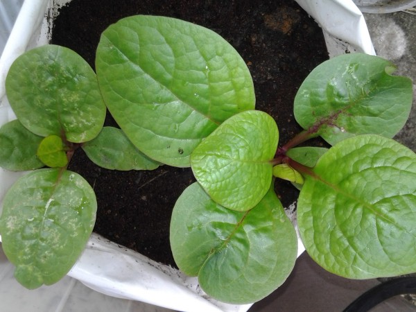 GW023 Malabar Spinach3